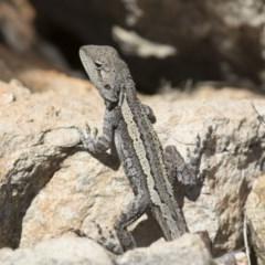 Amphibolurus muricatus (Jacky Dragon) at Illilanga & Baroona - 8 Feb 2016 by Illilanga
