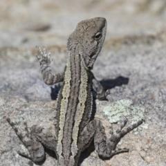 Amphibolurus muricatus at Illilanga & Baroona - 9 Feb 2016