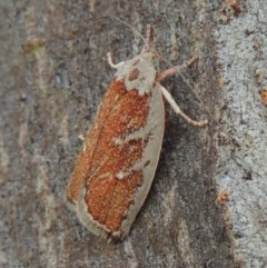 Euchaetis rhizobola (A Concealer moth) at Conder, ACT - 16 Oct 2015 by michaelb