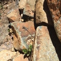 Amphibolurus muricatus at Michelago, NSW - 10 Dec 2016