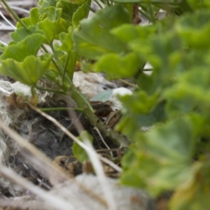 Carlia tetradactyla at Michelago, NSW - 5 Feb 2017