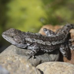 Amphibolurus muricatus at Michelago, NSW - 13 Oct 2017