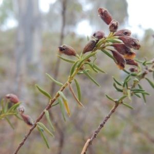 Dillwynia phylicoides at Tuggeranong Hill - 19 Oct 2017