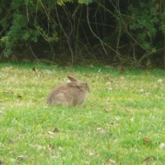 Oryctolagus cuniculus (European Rabbit) at Commonwealth & Kings Parks - 10 Jul 2010 by Christine