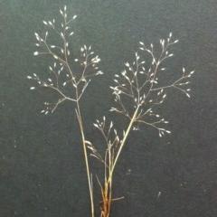 Aira elegantissima (Delicate Hairgrass) at Hughes Garran Woodland - 23 Oct 2017 by ruthkerruish