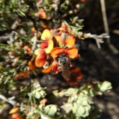 Lasioglossum (Chilalictus) sp. (genus & subgenus) (Halictid bee) at Aranda Bushland - 23 Oct 2017 by CathB