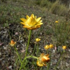Xerochrysum viscosum (Sticky everlasting) at Mount Painter - 24 Oct 2017 by CathB