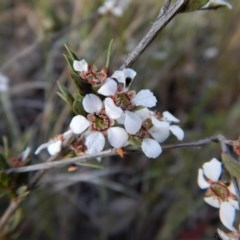 Leptospermum multicaule (Teatree) at Mount Painter - 24 Oct 2017 by CathB