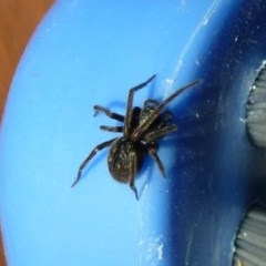 Badumna insignis (Black House Spider) at Flynn, ACT - 14 Jul 2011 by Christine