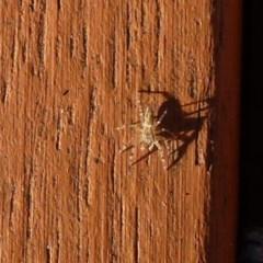 Helpis minitabunda (Jumping spider) at Flynn, ACT - 14 Jul 2011 by Christine