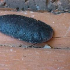 Laxta sp. (genus) (Bark cockroach) at Flynn, ACT - 11 Oct 2011 by Christine