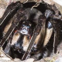Tasmanicosa sp. (genus) (Unidentified Tasmanicosa wolf spider) at Gungahlin, ACT - 22 Oct 2017 by DerekC