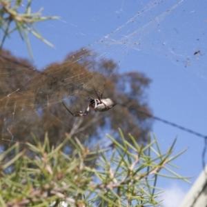 Nephila edulis at Michelago, NSW - 21 Apr 2011