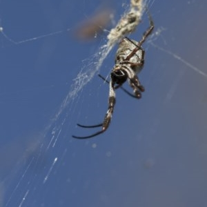 Nephila edulis at Illilanga & Baroona - 4 Jun 2017
