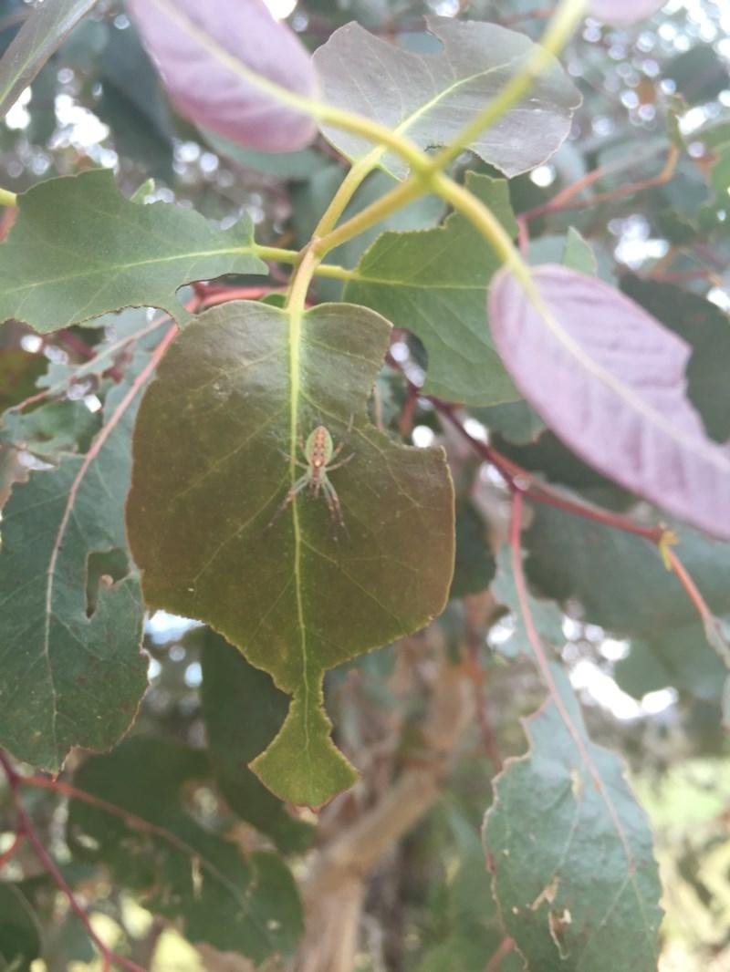 Araneus sp. (genus) at Michelago, NSW - 18 Nov 2016