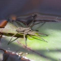 Pisauridae sp. (family) at Illilanga & Baroona - 13 Nov 2011