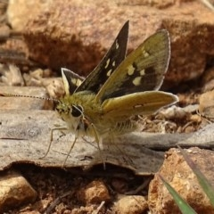 Trapezites luteus (Yellow Ochre, Rare White-spot Skipper) at Red Hill Nature Reserve - 25 Oct 2017 by roymcd