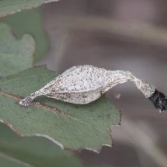 Hyalarcta nigrescens (Ribbed Case Moth) at Michelago, NSW - 28 Nov 2011 by Illilanga