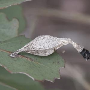 Hyalarcta nigrescens at Michelago, NSW - 28 Nov 2011