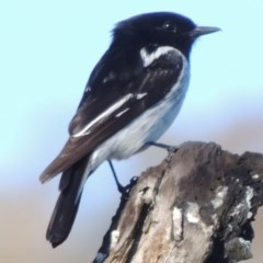 Melanodryas cucullata (Hooded Robin) at Gigerline Nature Reserve - 10 Oct 2017 by michaelb
