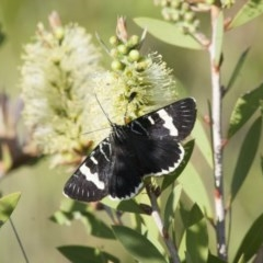 Phalaenoides glycinae (Grapevine Moth) at Illilanga & Baroona - 5 Nov 2011 by Illilanga