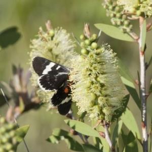Phalaenoides glycinae at Illilanga & Baroona - 6 Nov 2011