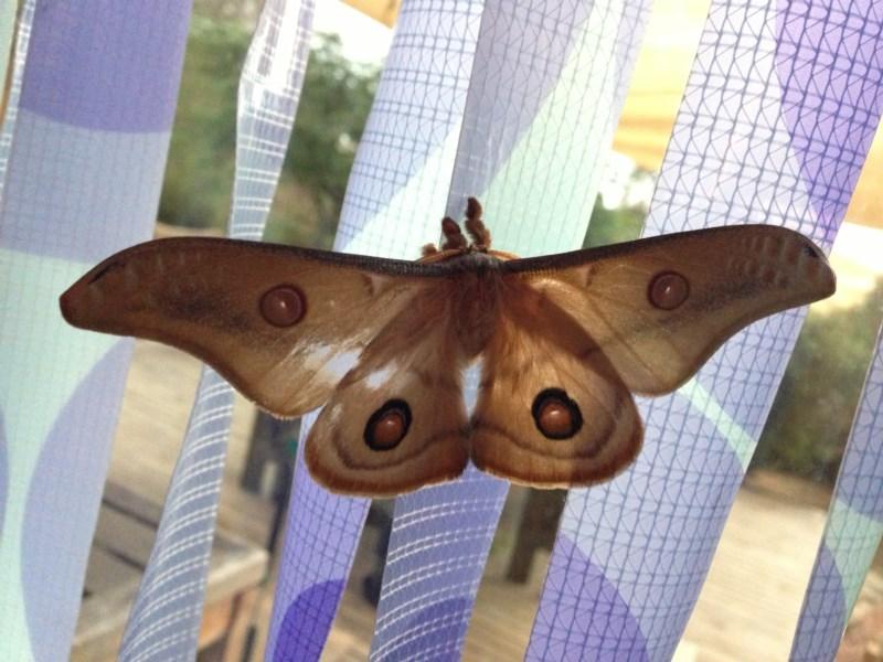 Opodiphthera eucalypti at Illilanga & Baroona - 23 Dec 2012