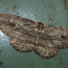 Ectropis excursaria (Common Bark Moth) at Lake Ginninderra - 8 Oct 2011 by Christine