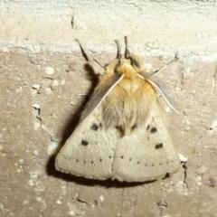 Anthela ocellata (Eyespot anthelid moth) at Lake Ginninderra - 8 Oct 2011 by Christine