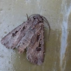 Agrotis munda (Brown Cutworm) at Belconnen, ACT - 24 Sep 2011 by Christine