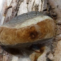 Phellinus sp. (non-resupinate) (A polypore) at ANBG - 16 Sep 2011 by Christine