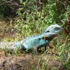 Intellagama lesueurii howittii (Gippsland Water Dragon) at Canberra Central, ACT - 3 Feb 2012 by Christine