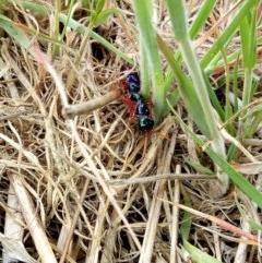 Diamma bicolor (Blue ant, Bluebottle ant) at Jerrabomberra Grassland - 26 Oct 2017 by samreid007