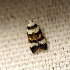 Catacometes phanozona (A Concealer moth) at O'Connor, ACT - 18 Oct 2017 by ibaird