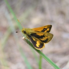 Ocybadistes walkeri (Greenish Grass-dart) at Kambah, ACT - 27 Oct 2017 by MatthewFrawley