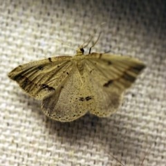 Taxeotis undescribed species nr epigaea (A geometer moth) at O'Connor, ACT - 17 Oct 2017 by ibaird