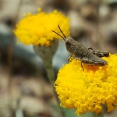Phaulacridium vittatum (Wingless Grasshopper) at Isaacs Ridge and Nearby - 27 Oct 2017 by Mike