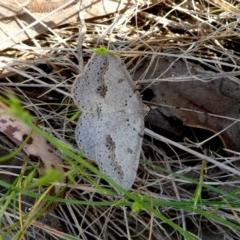 Taxeotis stereospila (Oval-spot Taxeotis) at Wandiyali-Environa Conservation Area - 28 Oct 2017 by Wandiyali