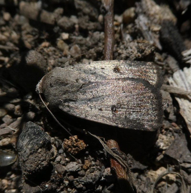 Proteuxoa (genus) at Wandiyali-Environa Conservation Area - 28 Oct 2017