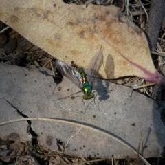Austrosciapus connexus (Green long-legged fly) at Wandiyali-Environa Conservation Area - 28 Oct 2017 by Wandiyali