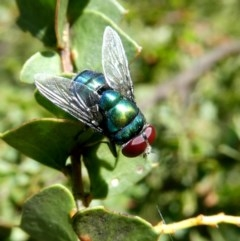 Chrysomya sp. (genus) (A green/blue blowfly) at Wandiyali-Environa Conservation Area - 28 Oct 2017 by Wandiyali