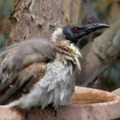 Philemon corniculatus (Noisy Friarbird) at Wandiyali-Environa Conservation Area - 28 Oct 2017 by Wandiyali