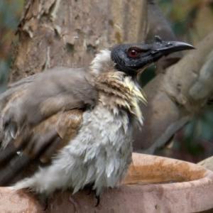 Philemon corniculatus at Wandiyali-Environa Conservation Area - 28 Oct 2017