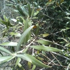 Olea europaea subsp. cuspidata (African Olive) at Mount Ainslie - 28 Oct 2017 by WalterEgo