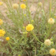 Calotis lappulacea (Yellow burr daisy) at Deakin, ACT - 26 Oct 2017 by MichaelMulvaney