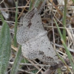 Taxeotis intextata (Looper Moth, Grey Taxeotis) at Theodore, ACT - 28 Oct 2017 by HarveyPerkins