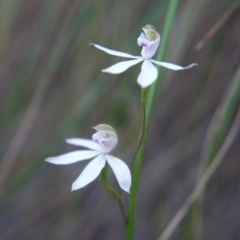 Caladenia moschata (Musky caps) at Black Mountain - 27 Oct 2017 by ClubFED