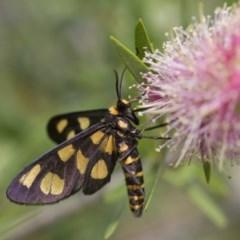 Amata sp. (genus) (Tiger Moth) at Illilanga & Baroona - 4 Feb 2017 by Illilanga