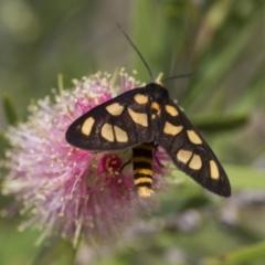 Amata (genus) at Illilanga & Baroona - 5 Feb 2017