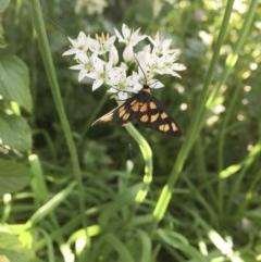 Amata sp. (genus) (Tiger Moth) at Illilanga & Baroona - 10 Mar 2017 by Illilanga